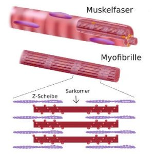 Aufbau der Muskulatur